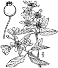 Amelanchier intermedia drawing.png