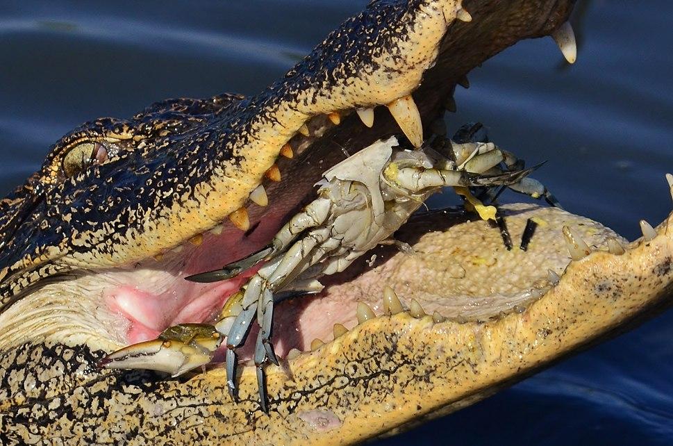 American Alligator eating Blue Crab 2