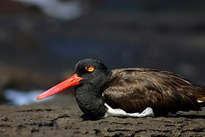 American oystercatcher - Image: American Oystercatcher nesting