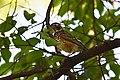 American Robin fledge (34454065841).jpg