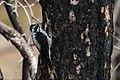 American Three-toed Woodpecker Signal Burn Gila NF NM 2017-10-18 09-01-42 (27296218429).jpg