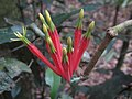 Amylotheca dictyophleba Mistletoe- Amylotheca dictyophleba IMG 3355 (4153205331).jpg