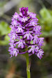 Orquídea Piramidal - Photo (c) Zeynel Cebeci, algunos derechos reservados (CC BY-SA)
