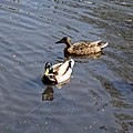 Anas platyrhynchos mallard pair at City of London Cemetery and Crematorium, Newham, England 07.jpg