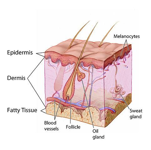File:Anatomy The Skin - NCI Visuals Online.jpg - Wikimedia Commons