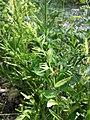 Anchusa arvensis subsp. orientalis sl11.jpg