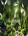 Andreaeaceae01.JPG