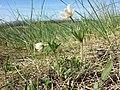 Anemone sylvestris sl41.jpg