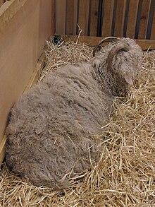 Angora (race caprine) — Wikipédia