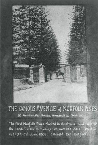 Annandale Farm - Image: Annandale Farm Norfolk Island Pines 1