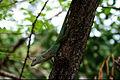 Anolis marmoratus giraffus 2.jpg
