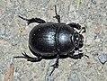 Anoplotrupes-stercorosus-02-fws.jpg