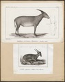 Antilope depressicornis - 1700-1880 - Print - Iconographia Zoologica - Special Collections University of Amsterdam - UBA01 IZ21200163.tif