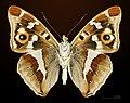 Apatura iris MHNT CUT 2013 3 18 Compiegne Ventre.jpg