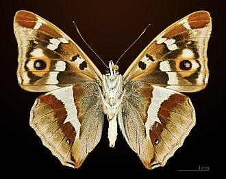 Apatura iris - Image: Apatura iris MHNT CUT 2013 3 18 Compiegne Ventre