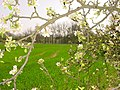 Apple Blossom and Fields - geograph.org.uk - 1422976.jpg
