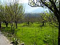 Apple plantations near Manali in Himachal Pradesh.JPG