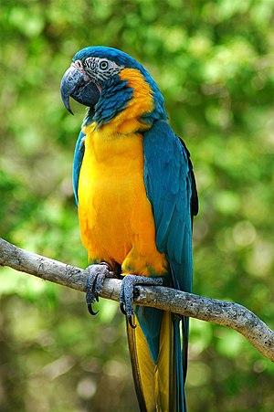 [Image: 300px-Ara_glaucogularis_-Cincinnati_Zoo-8.jpg]