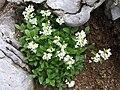 Arabis alpina a6.jpg
