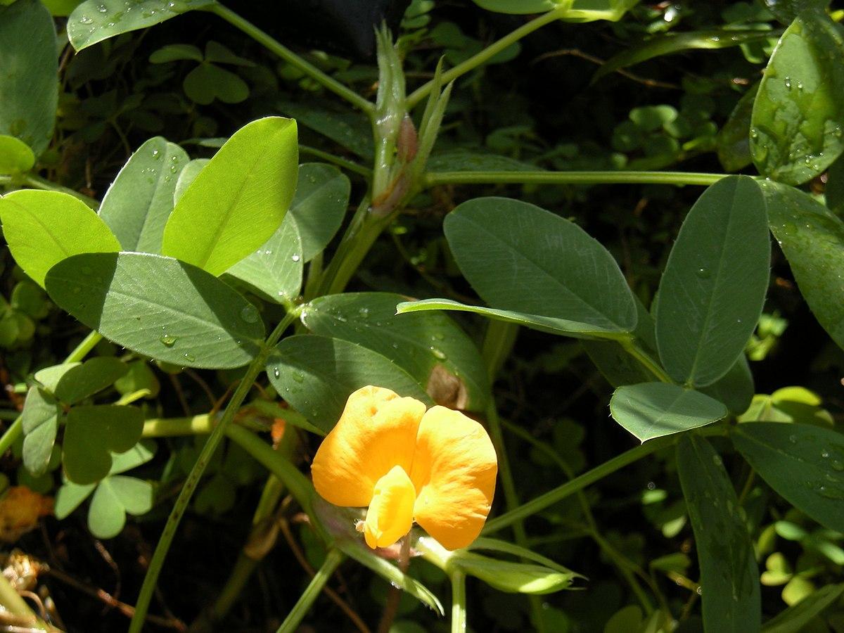 Arachis Pintoi Wikipedia