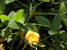 Arachis pintoi foliage and flower.jpg