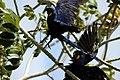 Arara Azul no Pantanal 2.jpg