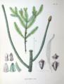 Araucaria excelsa SZ140.png