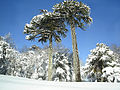 Araucaria in Conguillio.JPG
