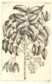 Arbor cæli Rumphius 1743 table 132.png