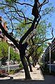 Arbres del carrer del Doctor Manuel Candela de València.JPG