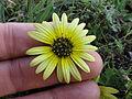 Arctotheca calendula flowerhead17 (11768043106).jpg