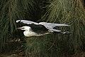 Ardea pacifica -Edithvale Wetland, Melbourne, Australia -flying-8.jpg