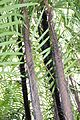 Arecales - Bactris major - 2.jpg