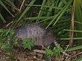 Armadillo inside Florida's Myakka State Park 4.jpg