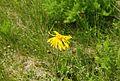 Arnika. Fichtelbergwiesen im Erzgebirge, Sachsen...2H1A2479WI.jpg