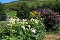 Arum Lilies (Zantedeschia aethiopica) - geograph.org.uk - 457484.jpg