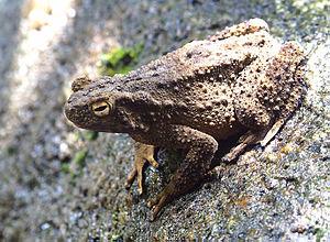 Phrynoidis asper - An Asian giant toad from Nakhon Si Thammarat, Thailand