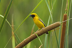 Asian Golden Weaver - Petchaburi - Thailand S4E4522 (14072230600) (2).jpg