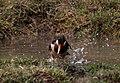 Asian Pied Starling-bathing I IMG 0380.jpg