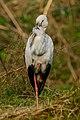 Asian openbill (Anastomus oscitans) 44-3.jpg