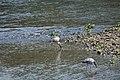 Asian openbill (Anastomus oscitans) SRI 17.jpg