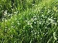 Asperula tinctoria sl1.jpg