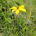 Asteraceae sp.-IMG 7633.JPG