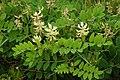 Astragalus glycyphyllos kz05.jpg