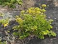 Astydamia latifolia in Lanzarote.jpg