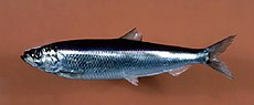 Atlantic herring.jpg