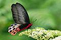 Atrophaneura horishana female.jpg