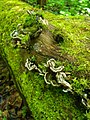 Auricularia mesenterica 38930747.jpg