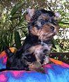 Ausilk Brandy Yorkshire Terrier web.jpg
