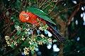 Australian King Parrot (Alisterus scapularis) male (10019236544).jpg